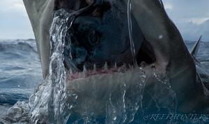 lemon shark eating by Michael Dornellas