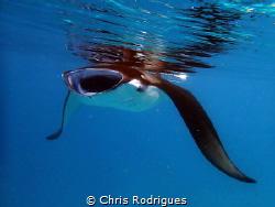 Manta Ray in Hanifaru Bay, Baa Atoll taken with Olympus T... by Chris Rodrigues