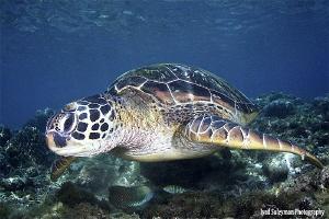Turtle at Apo Island by Iyad Suleyman