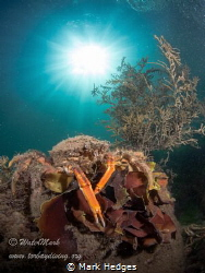 Spider crab under sunlight , babbacombe bay u.k by Mark Hedges