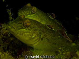 Two Gobies photographed with Olympus TG4,zoomed in. Lake ... by David Gilchrist