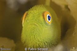 Hairy goby in Lembeh by Fabio Strazzi