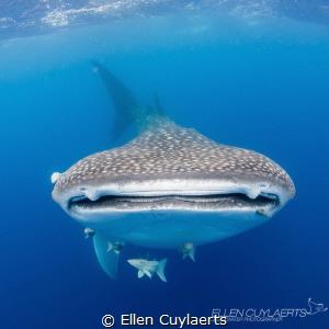 Happy International Whaleshark day Image taken in St. He... by Ellen Cuylaerts
