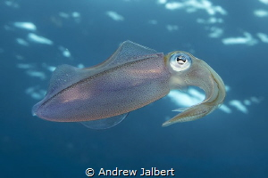 Reef squid, Molasses Reef, Key Largo, Florida. Shot withi... by Andrew Jalbert