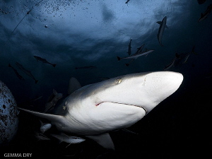 Blacktip shark at Aliwal Shoal by Gemma Dry