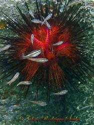 """C'mon baby, light my fire""! Fire Urchin (Astropyga radia... by Chris Rodrigues"