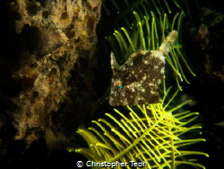 Filefish by Christopher Teoh