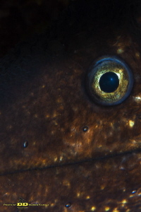 The eye of moray (Muraena helena - Mediterranean moray) by Marco Faimali (ismar-Cnr)