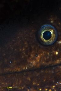 The eye of moray (Muraena helena - Mediterranean moray) by Marco Faimali (ismar-Cnr)