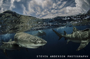 Playing with sharks at the surface is always fun. This im... by Steven Anderson