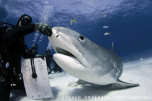 Tiger Sharks need love too and enjoy a scratch from diver... by Steven Anderson