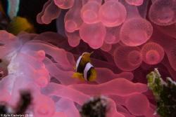 Juvenile Clark's Anemonefish (Amphiprion clarkii) Host bu... by Kyle Castelyn