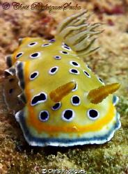 Twin sea slug (Goniobranchus geminus) Olympus TG1 by Chris Rodrigues