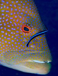 Grouper being cleaned. Nikon D70, 105 lens and twin YS90 ... by Jane Morgan