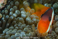 Clown Fish allowed me to approach his house. by Frankie Rivera