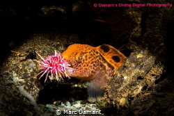 A mouthful of Red Urchin. A young Wolf Eel eating one of ... by Marc Damant