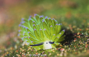 Very cute creature,like a small sheep,resting on the grass. by Ming Wen