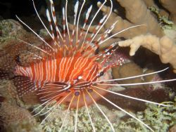 Lion Fish from Similan, Thailand by Evelyn Foo