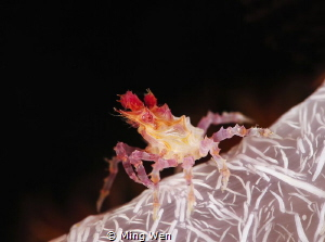 candy crab by Ming Wen