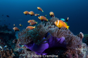 Crowded condominium. A very busy anemone with a school of... by Pietro Cremone