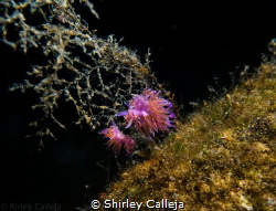 Nudibranch seen on Tugboat Rosi dive site in Cirkewwa Malta. by Shirley Calleja