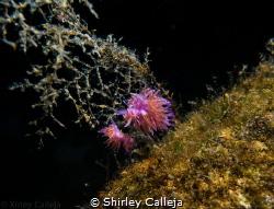 Nudibranch seen on Tugboat Rosi dive site in Cirkewwa Malta. by Shirley Calleja
