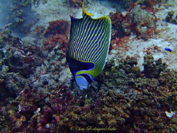 Emperor Angelfish doing a Headstand; Olympus TG1 by Chris Rodrigues