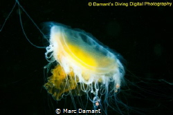 Fried Egg Jellyfish hanging in the black depths of the Pa... by Marc Damant