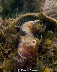 A seaweed blenny fights with his own reflection created w... by Brent Barnes