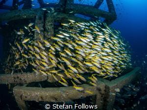 Plunge Big Eye Snapper - Lutjanus lutjanus Sail Rock, T... by Stefan Follows