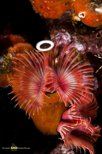 The beauty of being a marine worm! by Marco Faimali (ismar-Cnr)