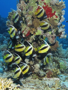Meeting of Red Sea bannerfish (Heniochus intermedius) by Andre Philip