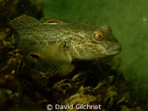 Round Goby Welland Scuba Park by David Gilchrist