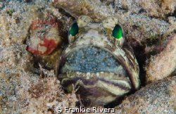 Male Jawfish (The Patriarch) by Frankie Rivera