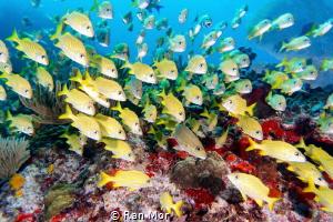 School of Blue Striped Grunts in Manchones Reef, Isla Muj... by Ran Mor