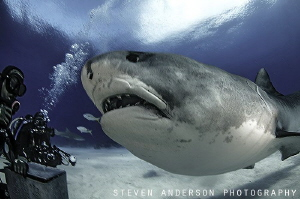 Please give me a snack? Tiger Shark Love off the West End... by Steven Anderson