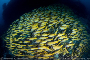 A huge school of jellow snappers by Pietro Cremone