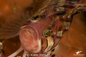 Klipfish, Steenbras Deep, Gordon's Bay, South Africa by Kate Jonker
