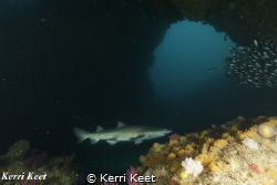 Ragged Tooth shark in Cathedral by Kerri Keet