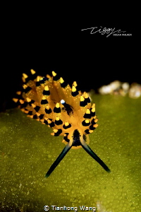 TAOIST The nudibranch looklike the monk by Tianhong Wang