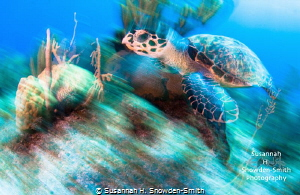 """""""A Turtle In Motion Tends To Stay In Motion"""" A hawksbill... by Susannah H. Snowden-Smith"""