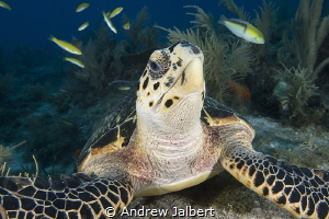 Endangered Sea Turtle feeding on Molasses Reef, Key Largo... by Andrew Jalbert