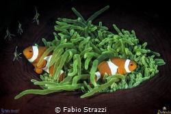 Anemone and Anemonefish by Fabio Strazzi