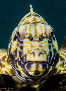 Stocky Hawkfish, or Po'opa'a in Hawaiian... Considered a ... by Tony Cherbas