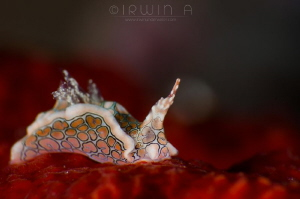 R E D - C A R P E T Sea slug (Psychedelic Batwing Slug)... by Irwin Ang