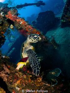 Levity  Hawksbill Turtle - Eretmochelys imbricata  Li... by Stefan Follows