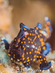 S P O T T Y Juvenile Painted frogfish  (Antennarius pic... by Lilian Koh