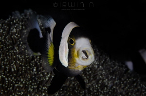 A H H  Nemo with parasite(Ocellaris clownfish) Bali (Pa... by Irwin Ang