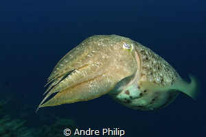 """Curious"" - A broadclub cuttlefish (Sepia latimanus) by Andre Philip"