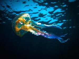 A jellyfish spotted in Mellieha, Malta by Shirley Calleja